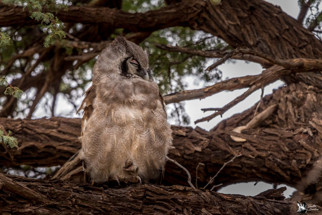 Verreaux'_Eagle_Owl